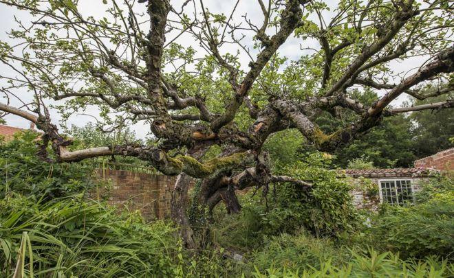 Original Bramley apple tree in Southwell